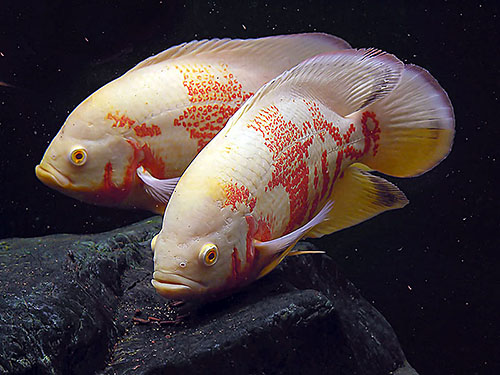 White tigers page 3 oscar fish advice forum for Large oscar fish for sale